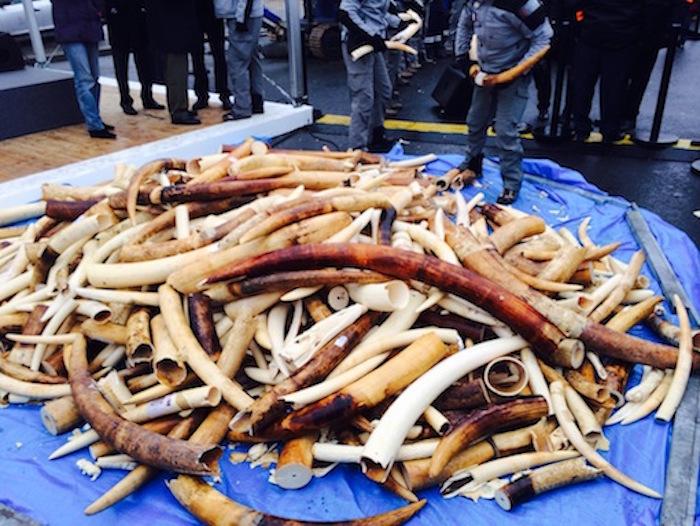 Trafic de l ivoire il n y a pas que la chine l europe - Comment reconnaitre de l ivoire ...