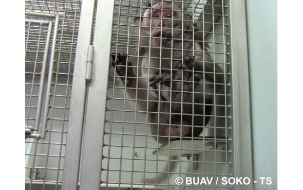 pr s de nantes des macaques du zoo livr s la tr panation. Black Bedroom Furniture Sets. Home Design Ideas