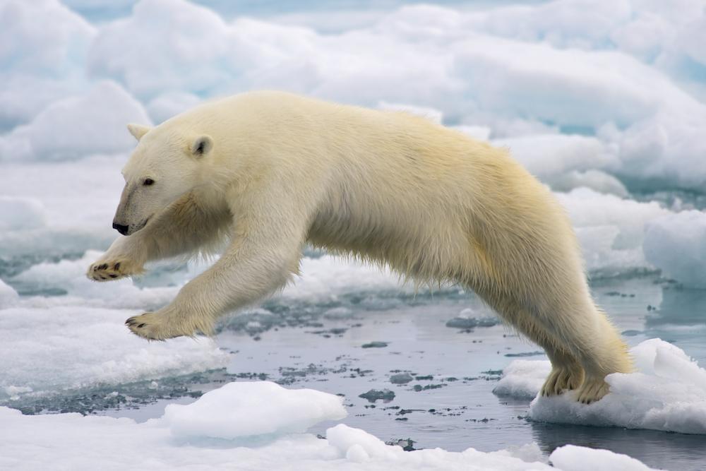 https://reporterre.net/IMG/jpg/polar_bear_adf.jpg