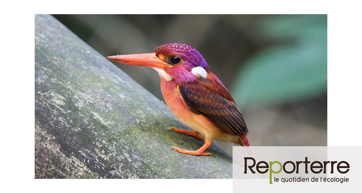 Un oiseau rarissime photographié pour la première fois