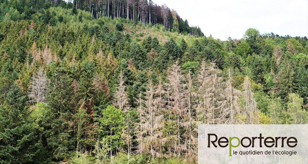 Sécheresse : dans la forêt vosgienne, sapins et épicéas « n'arrêtent plus de mourir »