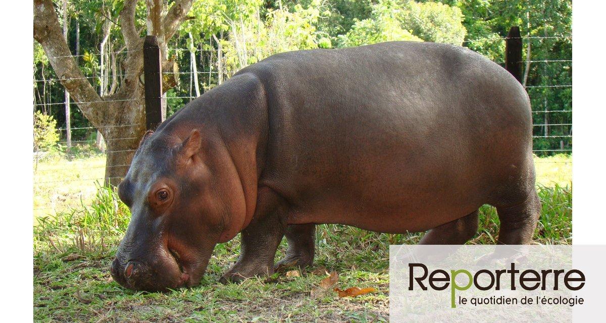 Les hippopotames de Pablo Escobar restaurent un monde perdu