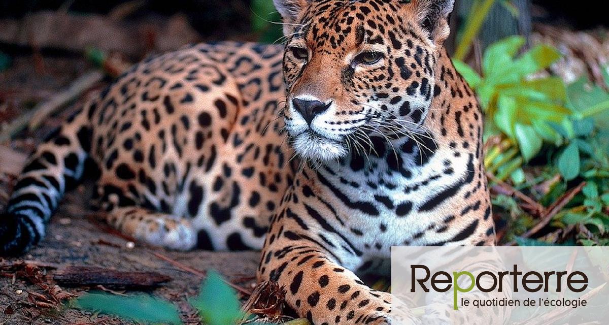 Le jaguar, l'éléphant d'Asie et le requin océanique seront mieux protégés