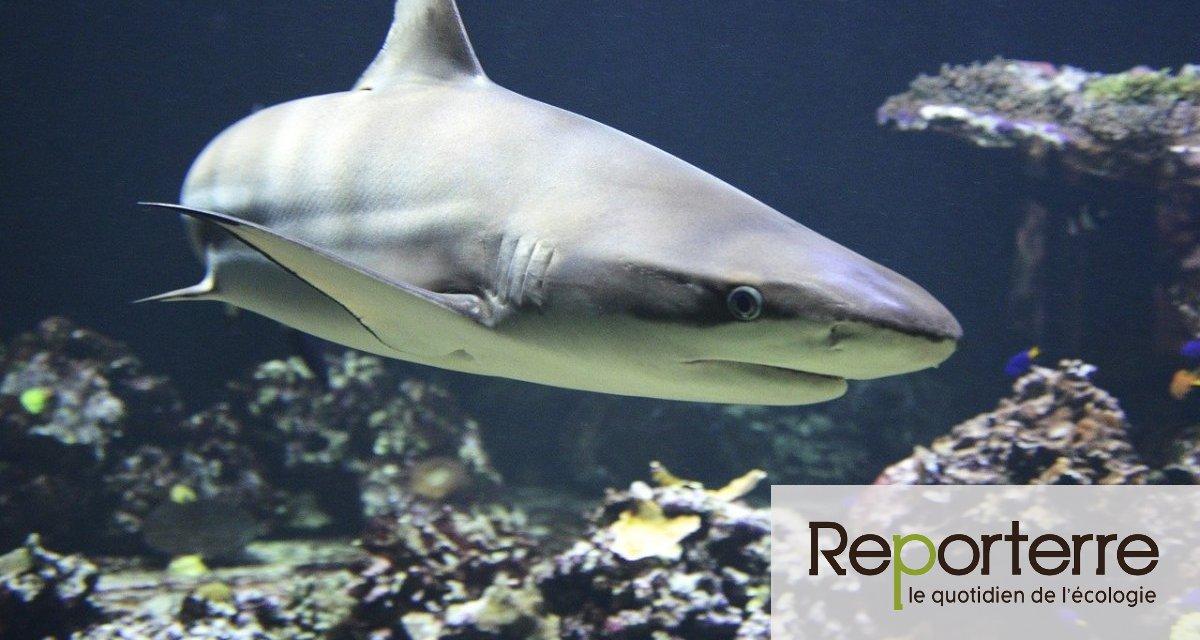 La surpêche menace d'extinction les requins et raies océaniques