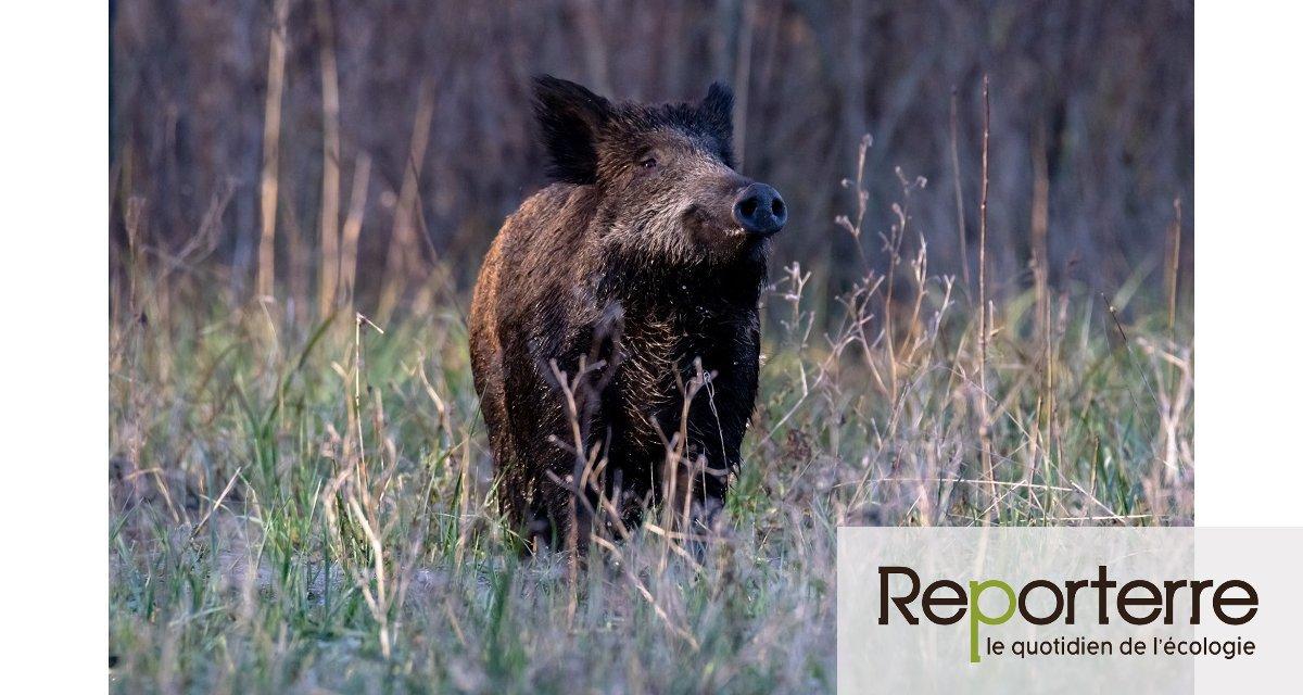 Étendre la durée de la chasse ne limitera pas la prolifération du gibier