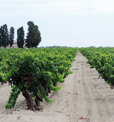 La plus grande collection de vignes au monde est en danger