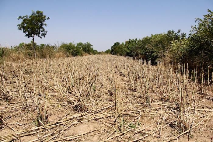 Une parcelle où le sorgho vient d'être récolté, dans le bocage sahélien de Tankouri. Chacun des 23 champs est délimité par une haie, qui protège les cultures du vent, les sols de l'érosion, et dont les feuilles qui tombent au sol permettent la création d'humus.