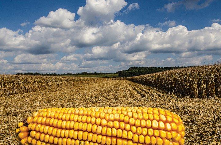 """La Commission européenne autorise quatre <span class=""""caps"""">OGM</span> et le Mon810 contre l'avis des Etats membres"""