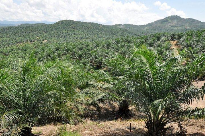 """L'huile de palme «<small class=""""fine""""></small>durable<small class=""""fine""""></small>» n'existe pas"""