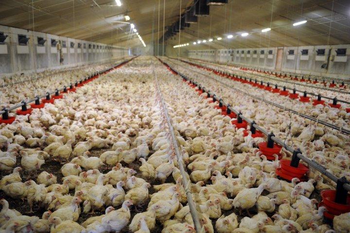 Sortir de l'élevage intensif pour échapper aux pandémies