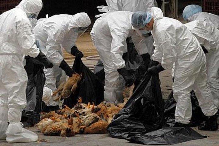Derrière la grippe aviaire, une multiplication mondiale des pandémies animales