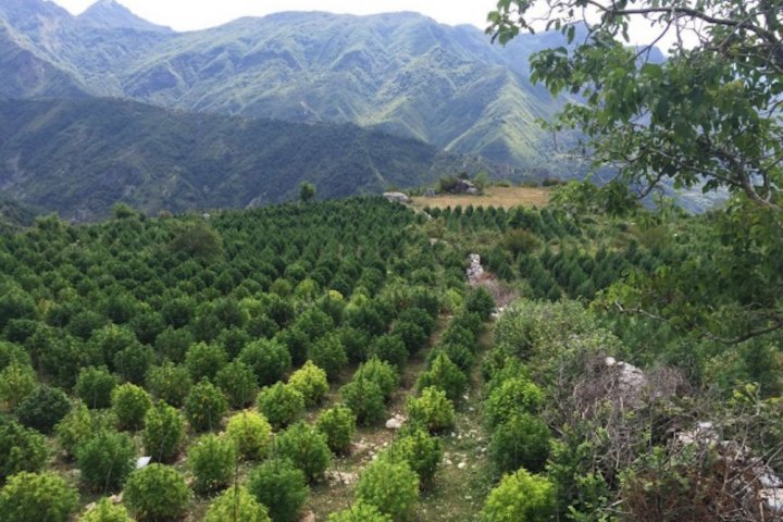 L'Europe compte un grand producteur de cannabis: l'Albanie