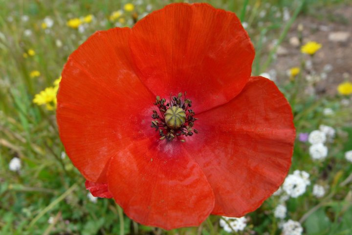 "«<small class=""fine d-inline""> </small>Nous voulons des coquelicots<small class=""fine d-inline""> </small>»"