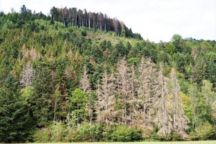"""Sécheresse: dans la forêt vosgienne, sapins et épicéas «<small class=""""fine""""></small>n'arrêtent plus de mourir<small class=""""fine""""></small>»"""