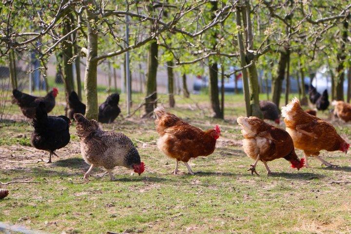 Les petits élevages bio menacés par Bruxelles