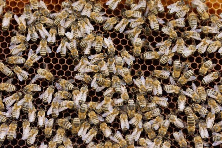 Le mystère de la mort d'abeilles près d'un champ expérimental de Bayer-Monsanto