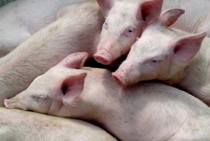 En Chine et en France, les élevages industriels de porcs sont une source de pandémies