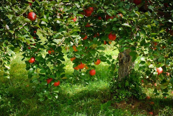 Pour la biodiversité et les paysages, maires de France, plantez des arbres fruitiers
